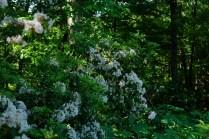 Laurel in dense woods.