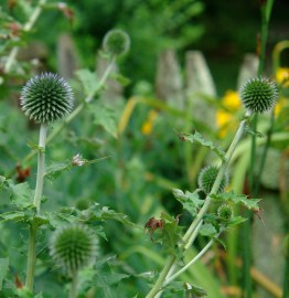 Globe thistle (echinops) just blueing up