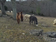 Young 'pacas in a paddock