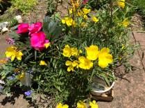 Lemon Drop' primrose. Heat and drought tolerant and OK in poor soil. A winner!