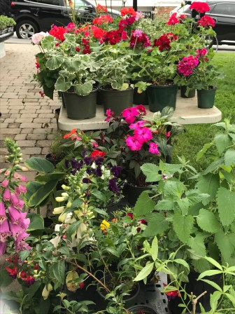 Some geraniums for my pots.