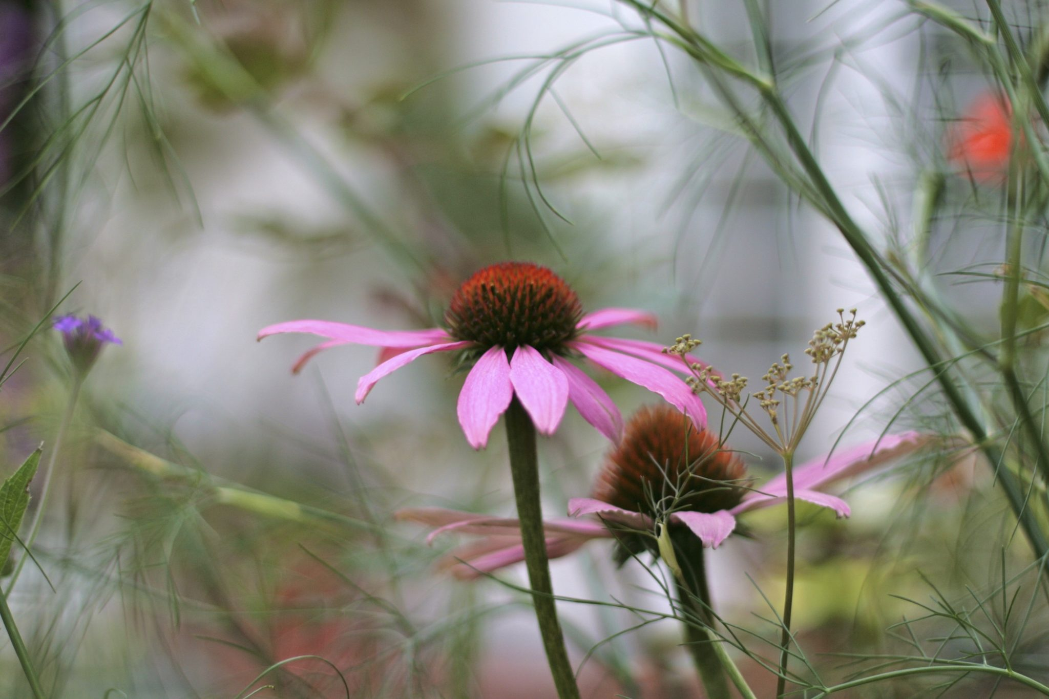 Echinacea purpurea Surrey garden