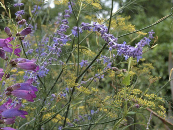 Mixed herbaceous border Surrey garden penstemons