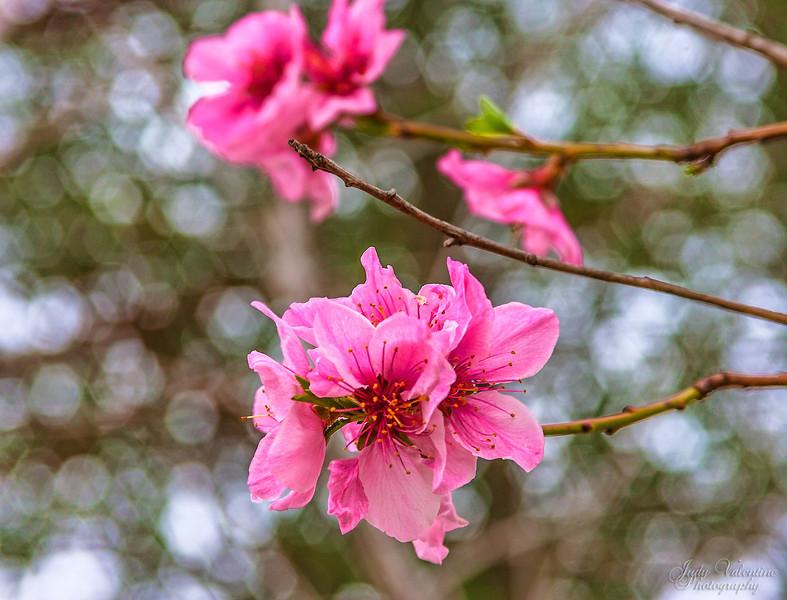 Apple Blosssoms