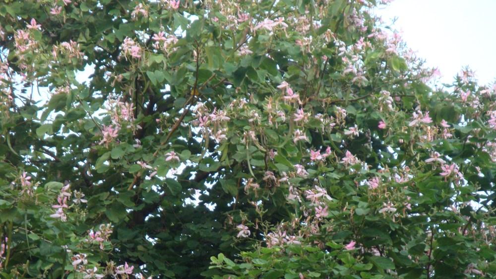 The beautiful Kachnar Tree (1/3)