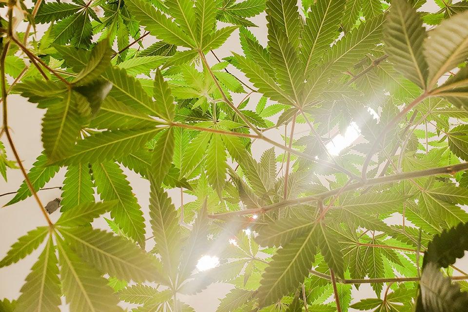 Hemp vs. Cannabis Derived - Julian Marley JuJu Royal