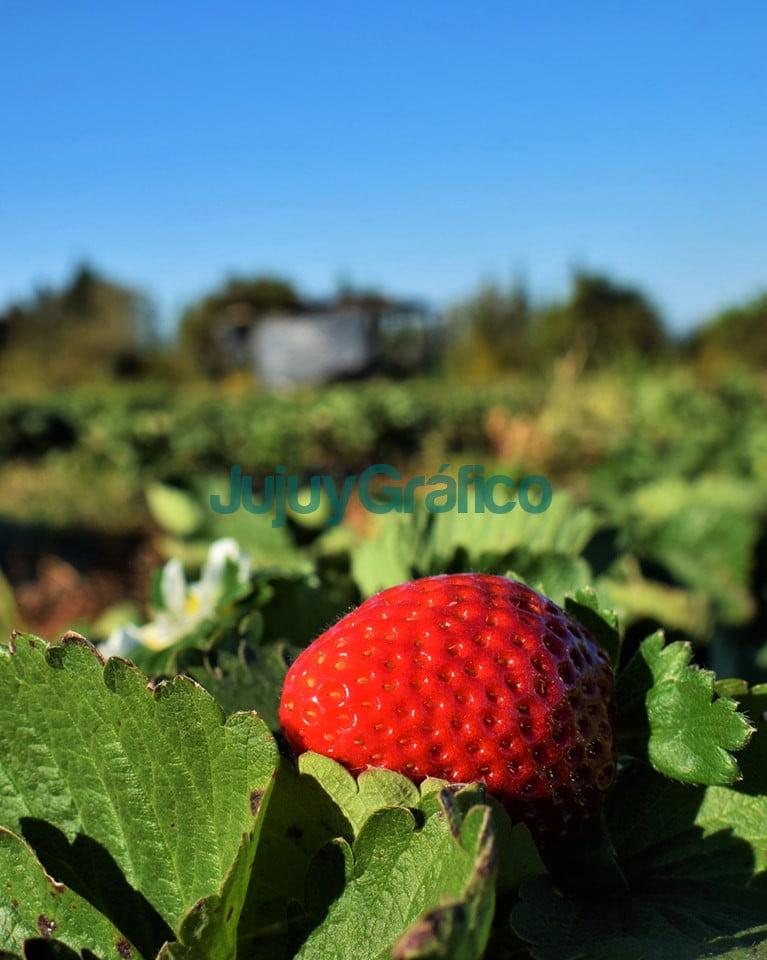 Jujuy es la cuarta provincia productora de frutilla 1