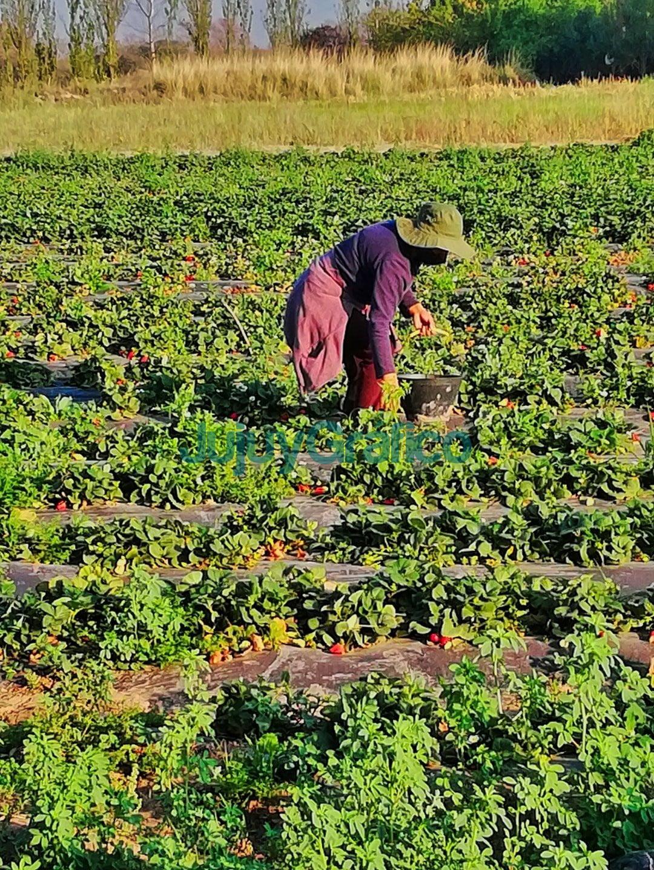 Jujuy es la cuarta provincia productora de frutilla 2