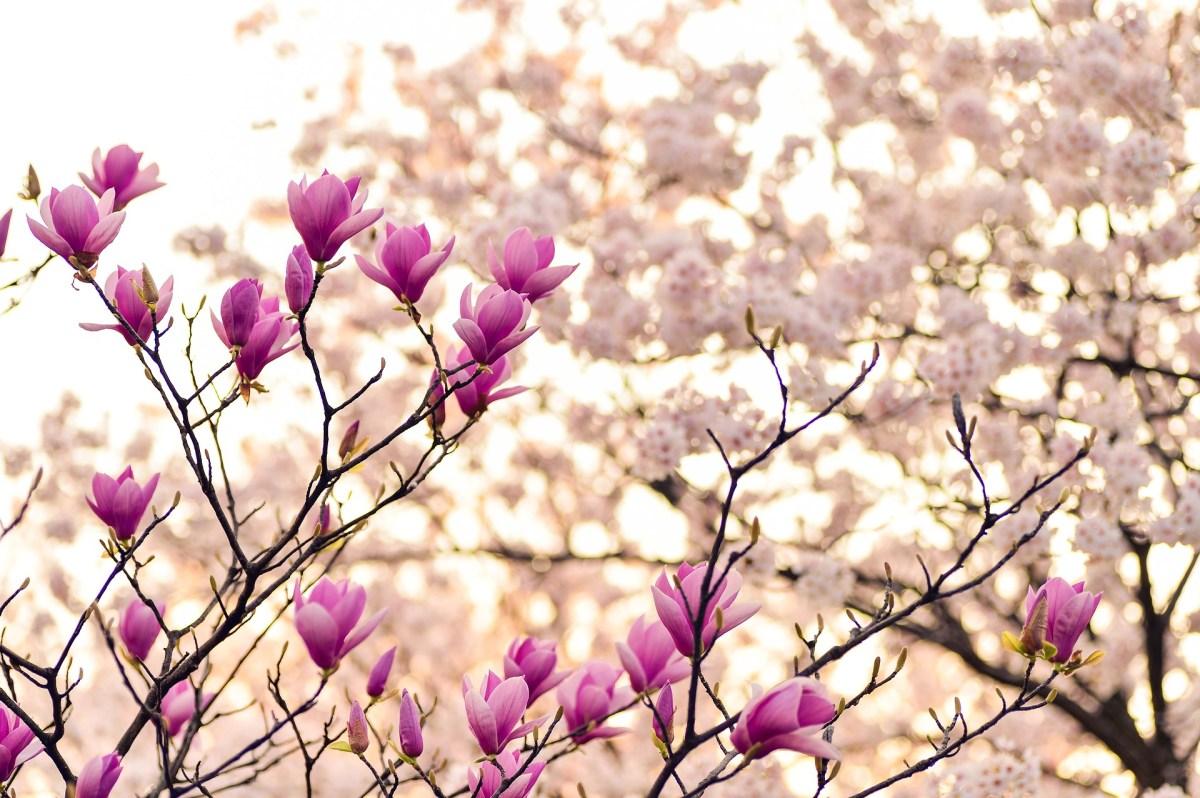 Rosa Magnolien-Bäume