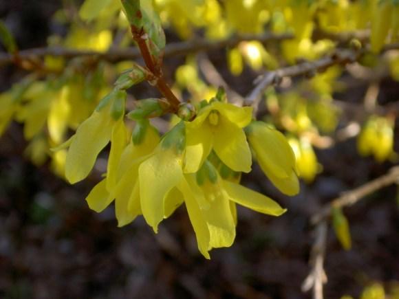 153 10th Apr Forsythia blossom