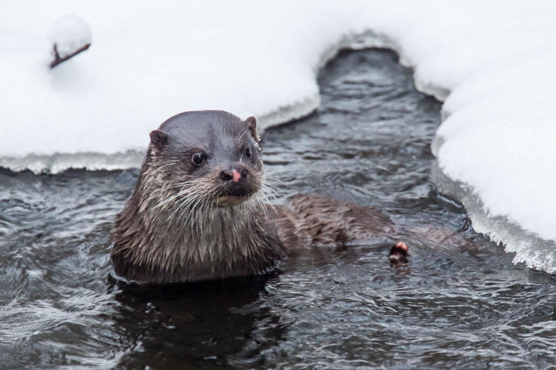 otter in the river vantaa