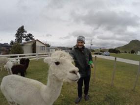 Verne feeds the alpacas