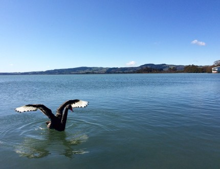 Black Swans were originally brought over from Australia as ornamental birds