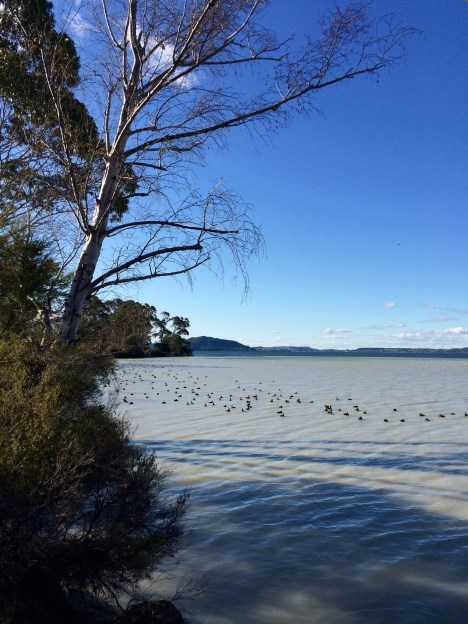 Rotorua's Sulphur Bay holds a surprisingly rich bird life, despite the fact that there's virtually no food in these oxygen deprived waters