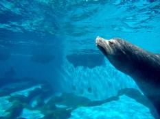Underwater picture of one of the sea lions, about to start its show