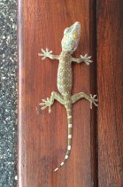 Jules wasn't particularly happy when she discovered this gecko in our room