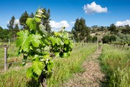 The vineyard, some time before the harvest, Ponte de Sor, Portugal (16mm, 1/420s, f7.1, ISO 200)