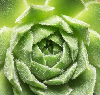 Succulent plant (35mm with 11mm extension tube @ 0.4x magnification, diffused flash, f8, 1/75s, ISO 200)