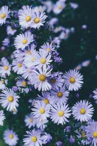 Puplre daisies