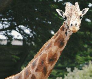 Giraffe's face