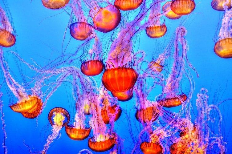Jellyfish in the Monterey Aquarium