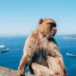 Monkey on Gilbraltar Island