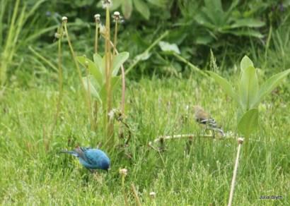 indigo bunting with goldfinch