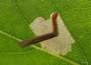 casebearer moth on birch