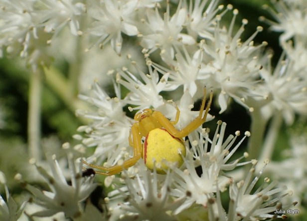 Crab spider on Rogersia
