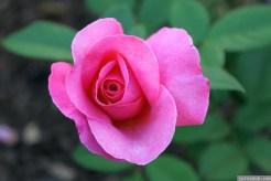 Parnell Rose Garden January 2013 031
