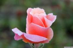 Parnell Rose Garden January 2013 050