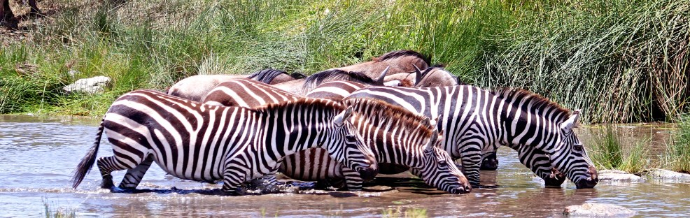 Zebras drinking water-Serengeti