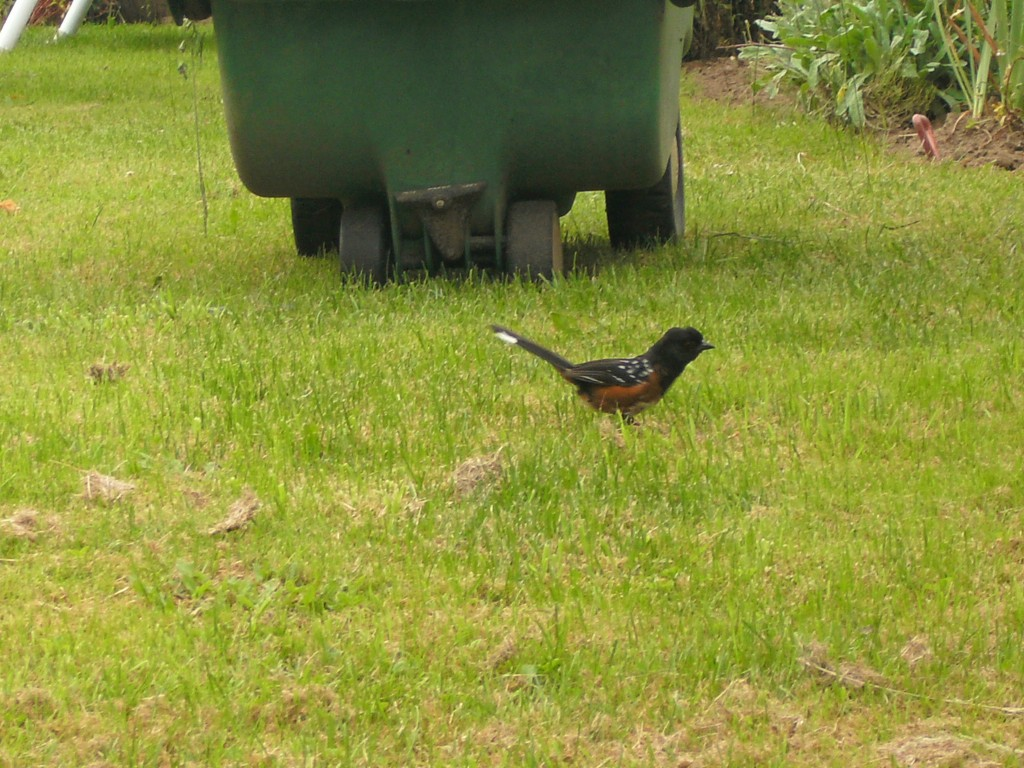 Spotted Towhee1