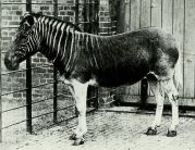 The only photography of a Quagga 1870