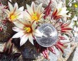 Mammillaria doica and the quarter
