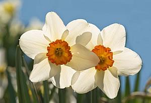daffodil2_barb300