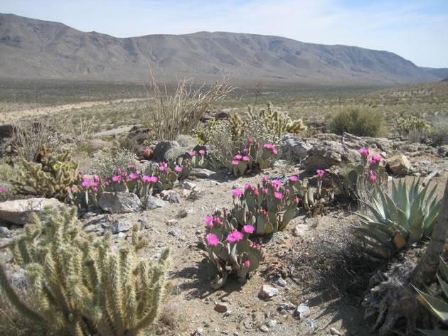 Prolific beavertail cacti
