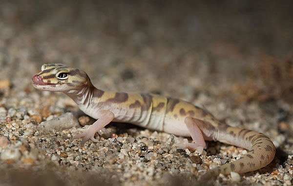 Desert Banded Gecko