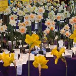 Daffodil showstopers
