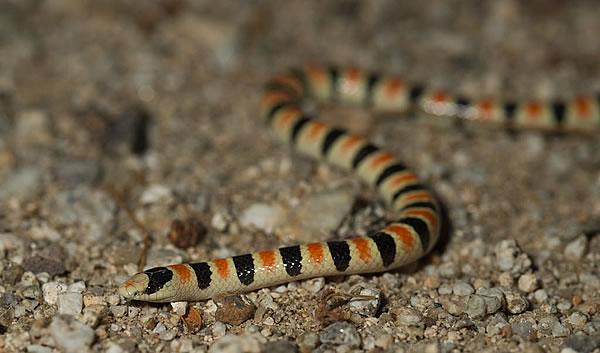 A Colorado Desert Shovel-nosed Snake skims the desert floor