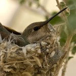 Hummingbird on her nest