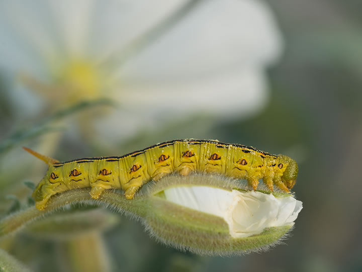 A caterpillar bed