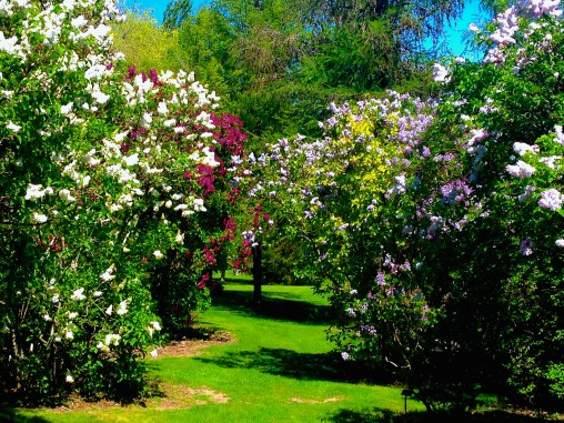 Lilac grove. University of Idaho Arboretum. © Nathan Langford, 2016