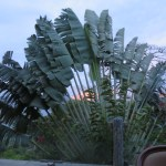 palm, noanoa