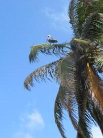 pelican in a palm