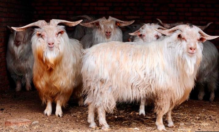 cashmere goats (credit AFP)