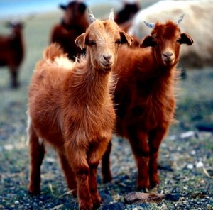 cashmere goats( photo from n.peal website)