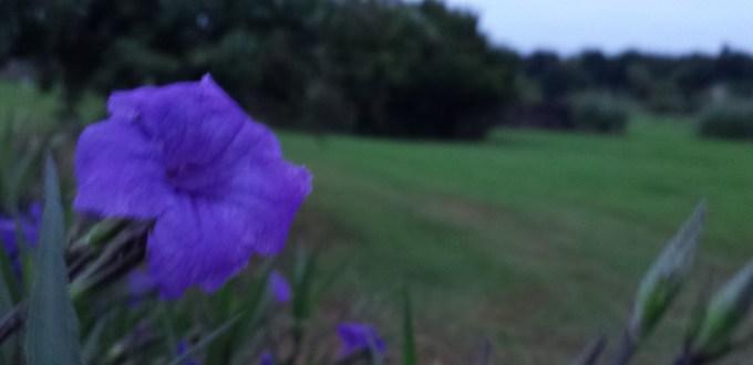 purple flower at overcast sunrise