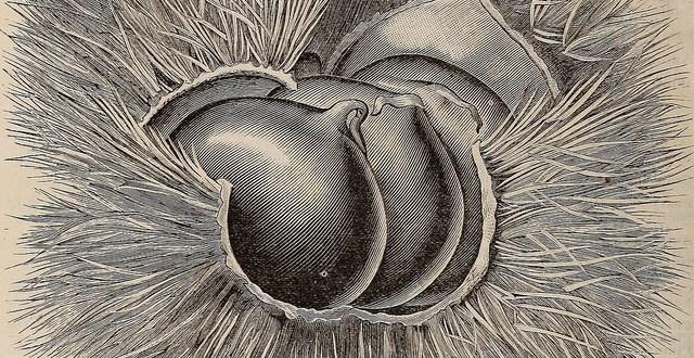 chestnut in casing illustration