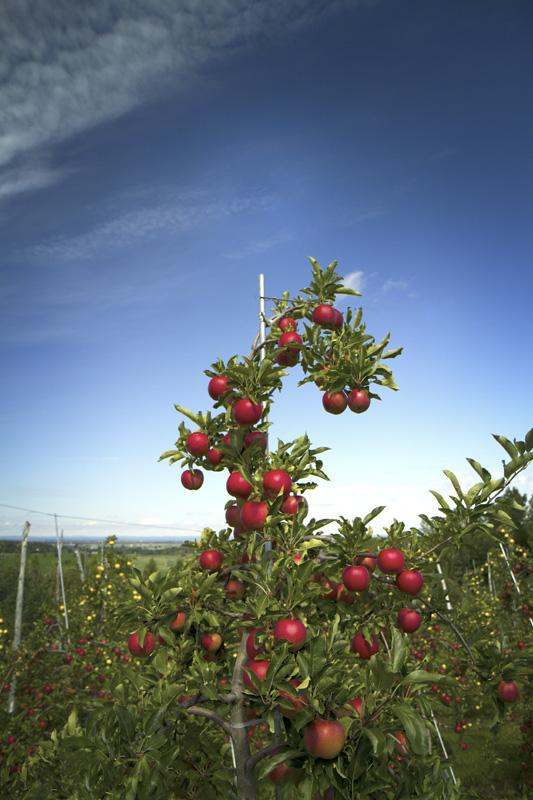Les pommes du Québec